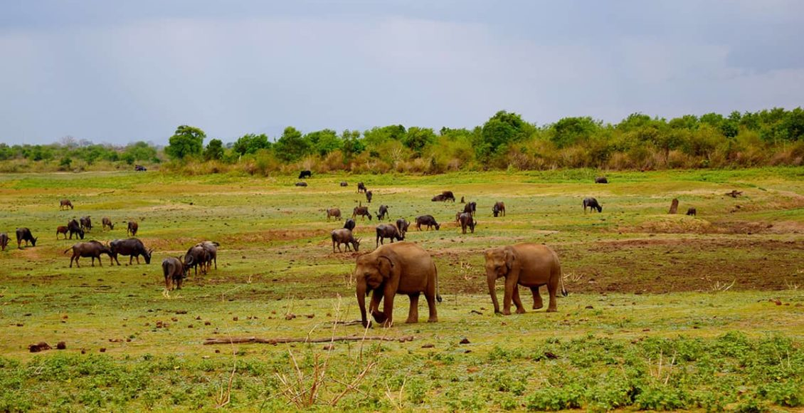 Srí Lanka safari sloni