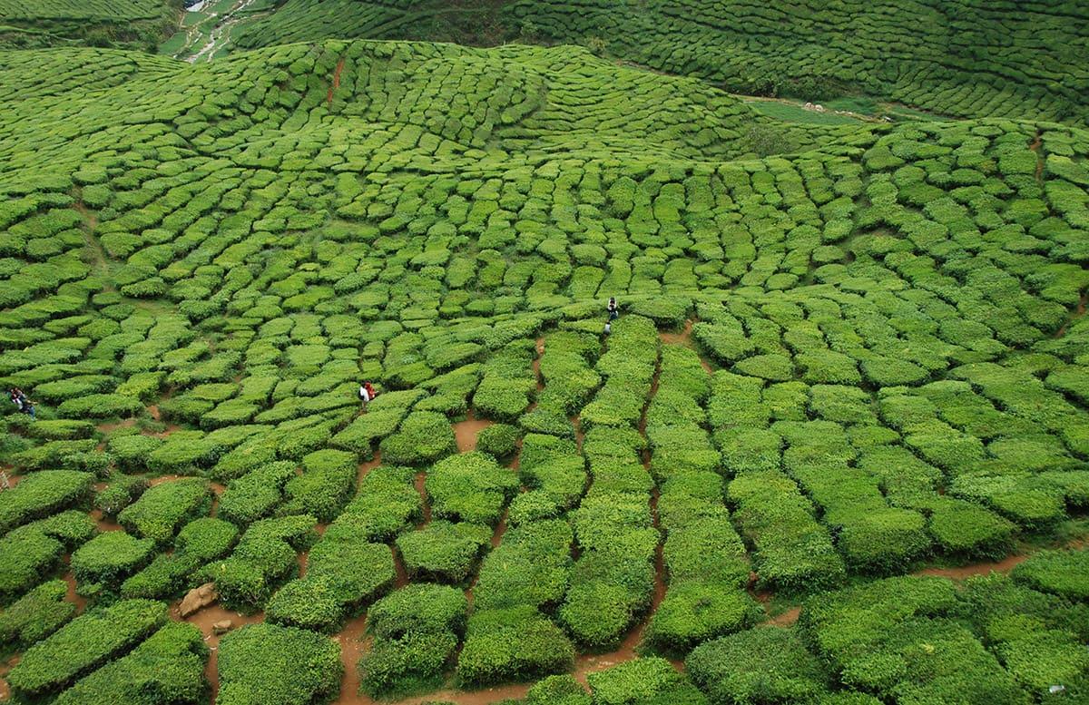 Cameron Highlands a čajové plantáže