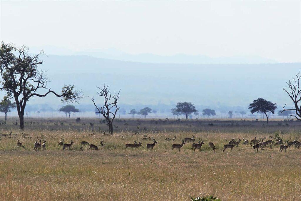 Stádo antilop