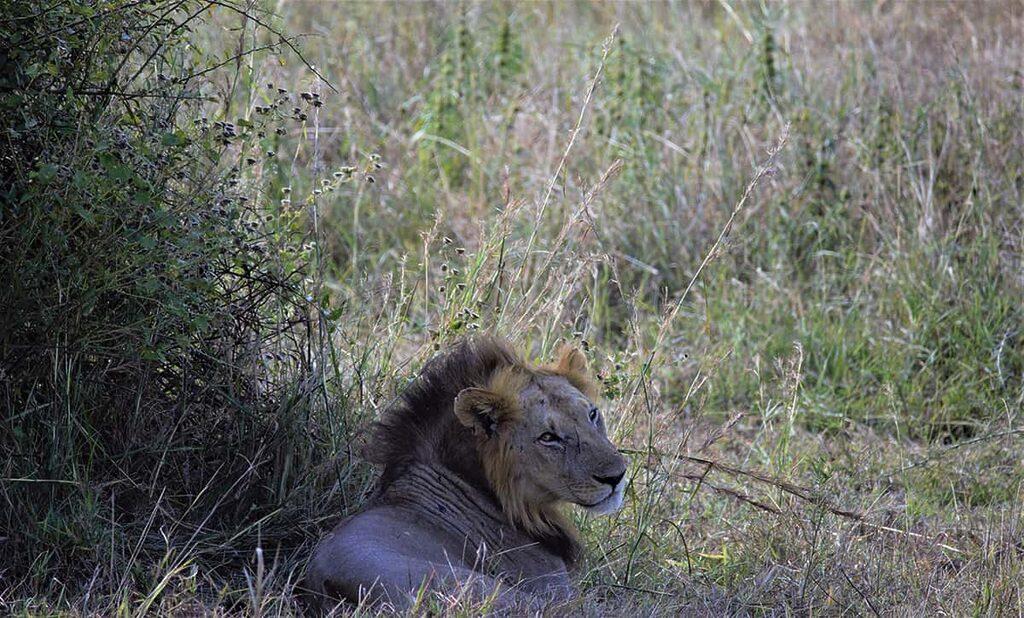 Odpočívající lev